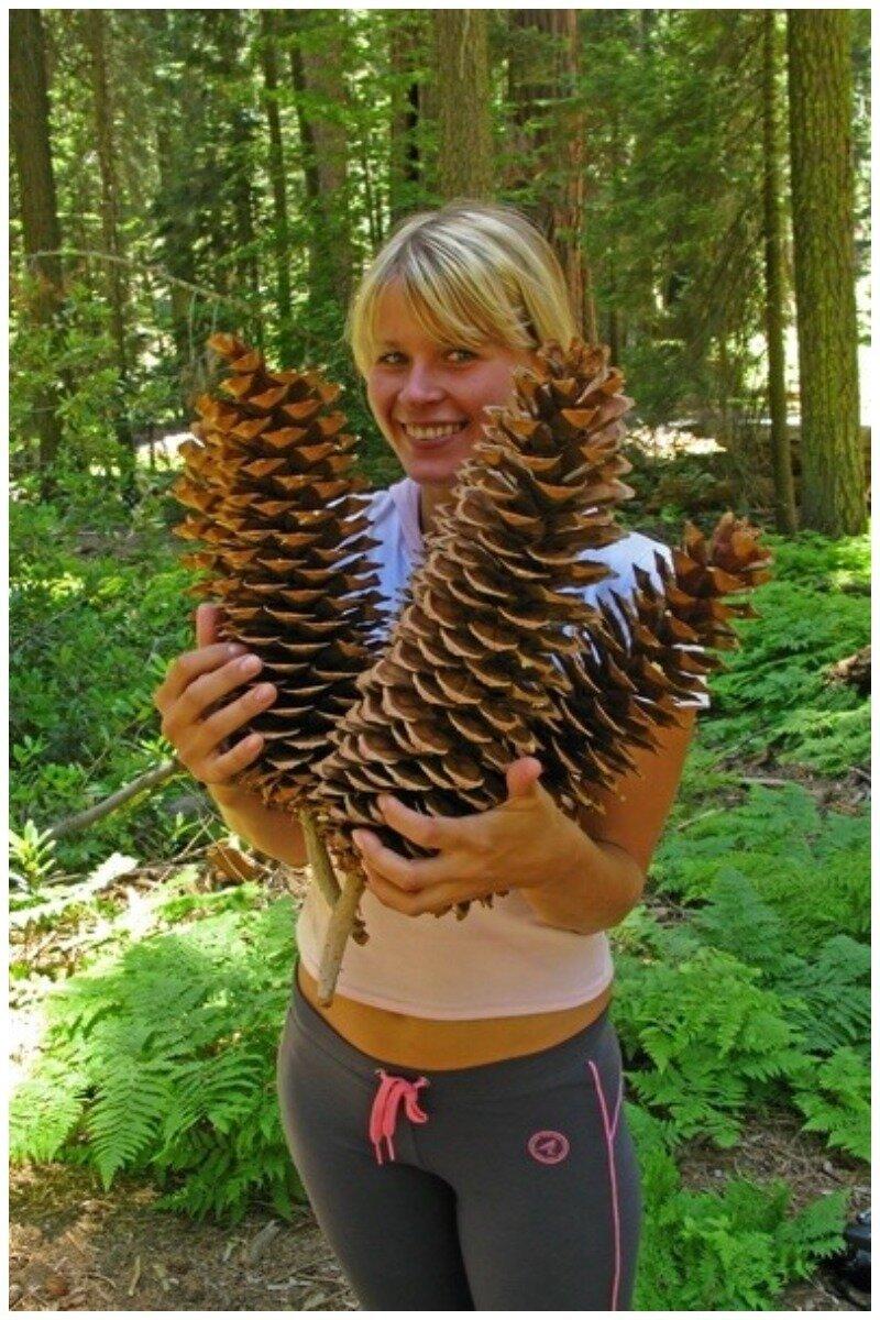 Шишки Секвойи интересное, познавательно, природа, растения, факт, шишки
