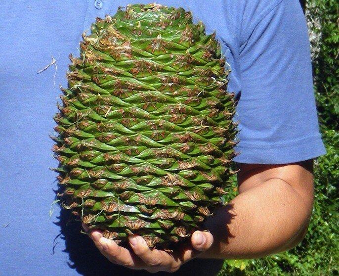 Араукария.В природных условиях размеры шишек достигают в диаметре 35 см и массы до 3 кг. интересное, познавательно, природа, растения, факт, шишки