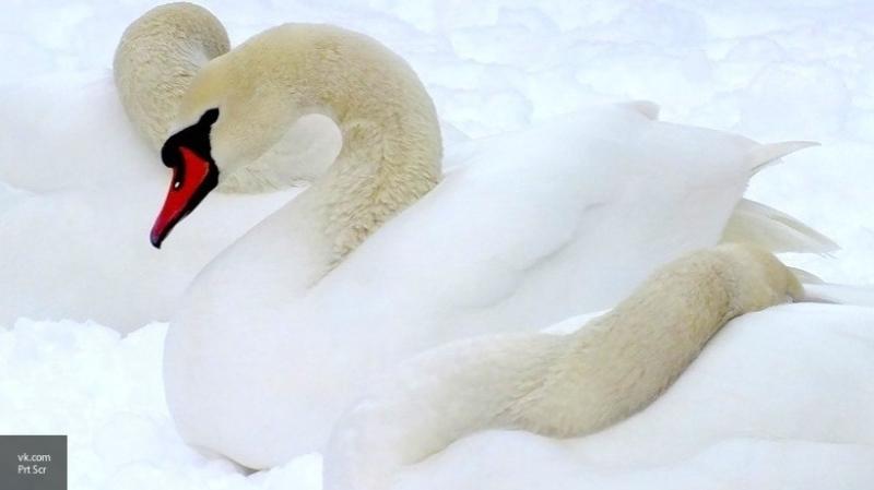 Охотничьи инспекторы спасли на Урале трех лебедей