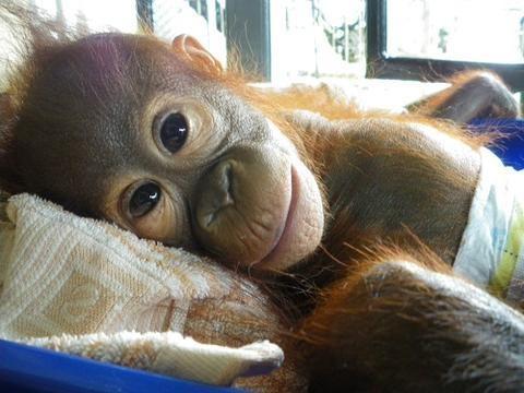 Слепой орангутан, найденный в одиночестве, борется, чтобы вернуть свое зрение