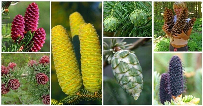 20 шишек, которые всем шишкам шишки интересное, познавательно, природа, растения, факт, шишки