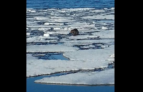 Бобр приплыл в Петрозаводск на льдине по Онежскому озеру