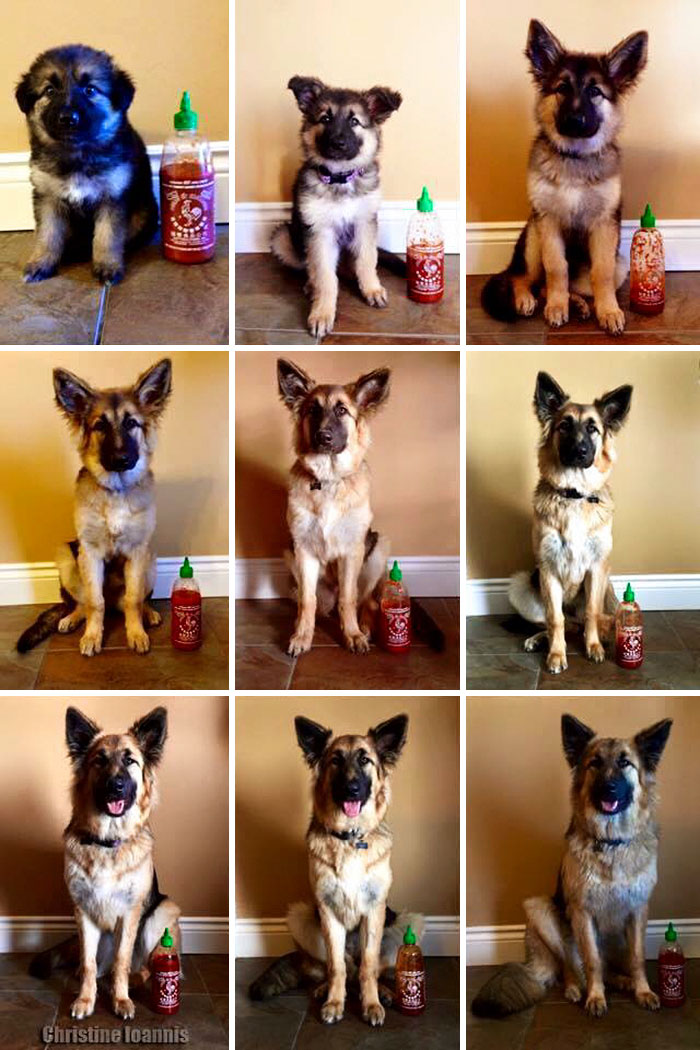 Owner Documents Their Dog's Growth By Using A Bottle Of Sriracha For Scale
