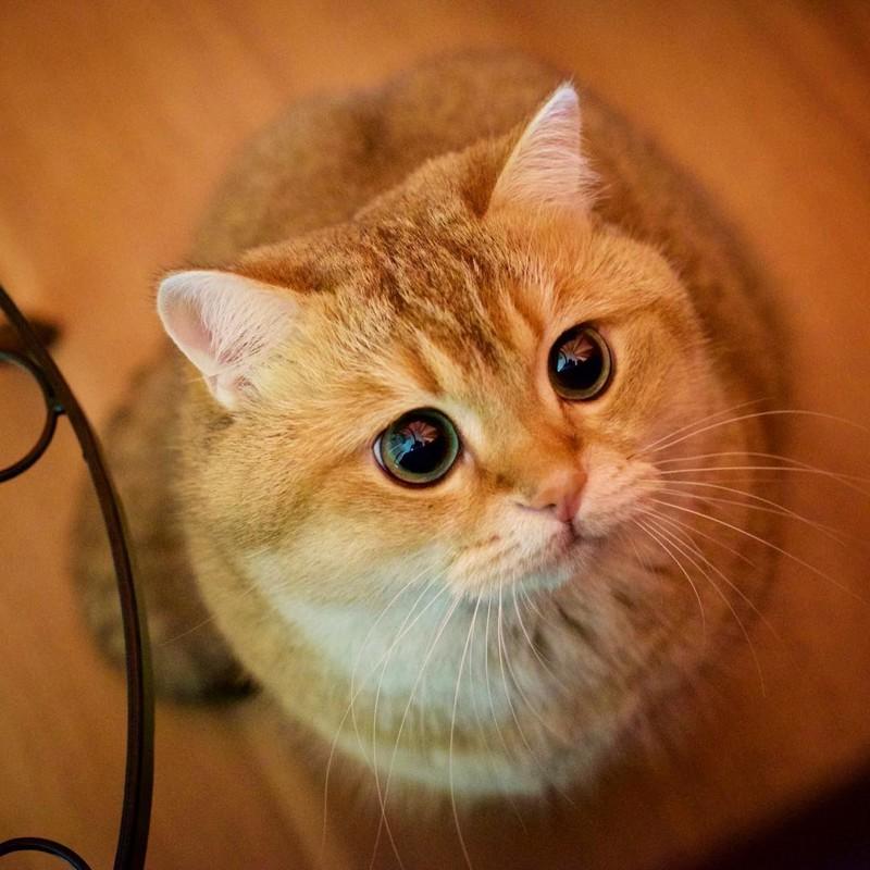 Хосико - настоящий Кот в сапогах из Шрека
