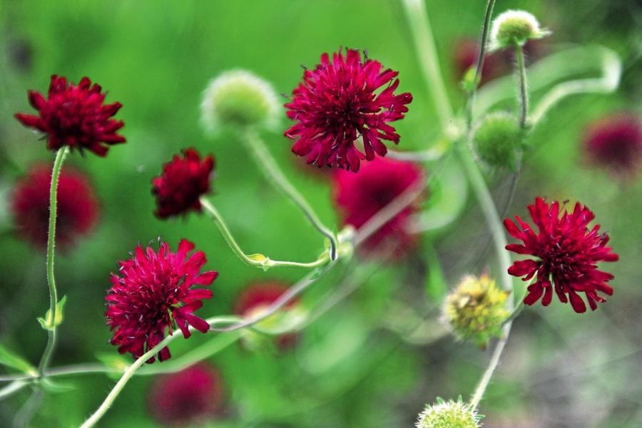 20 многолетних цветов для яркой осени дача,сад и огород,цветоводство