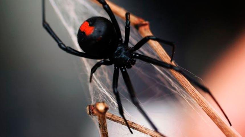 Ядовитый паук укусил австралийца за достоинство дважды за полгода