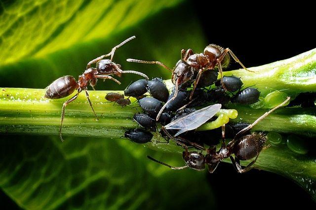 Без вреда для урожая. Избавляем огород от тли, муравьёв и колорадского жука