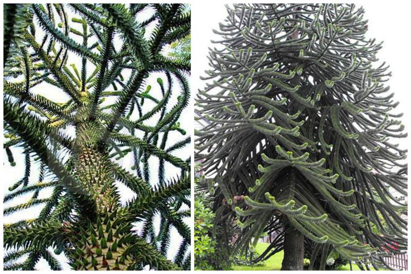 Araucária árvores chilenas, incrível, natureza, incrível, flora