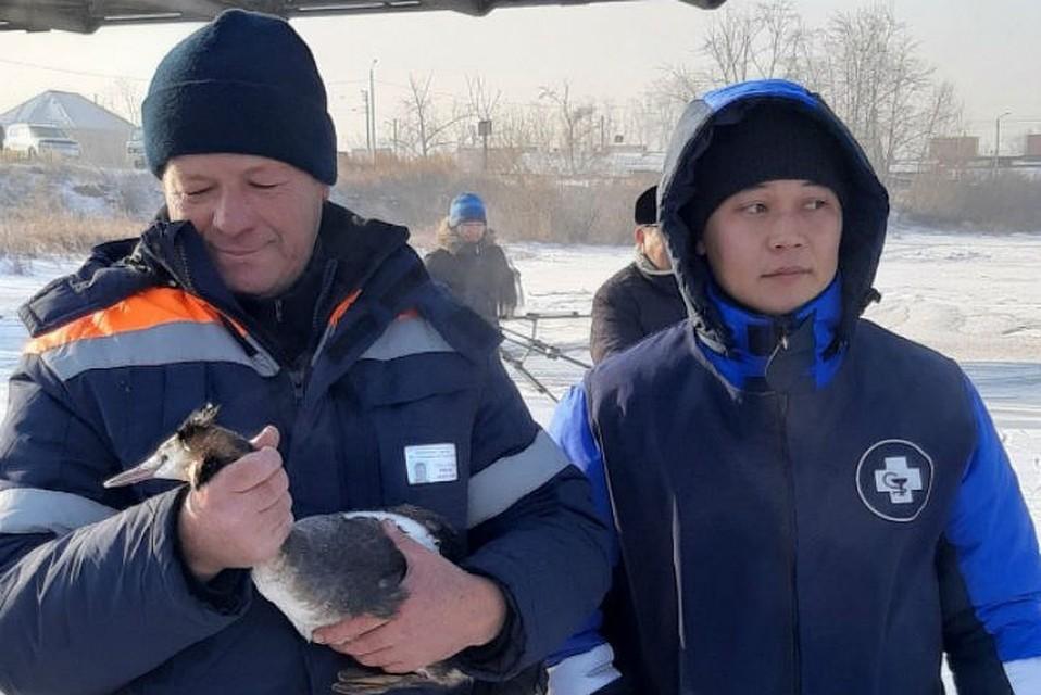 Спасали два дня: в Бурятии водолазы вытащили раненую утку из полыньи. Фото: предоставлено Олегом Лухневым.