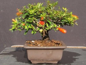 Комнатный гранат - как вырастить дерево