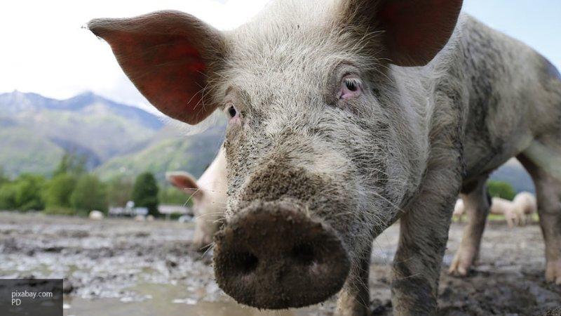 Гигантский хряк-людоед растерзал китайского свиновода на ферме в Гуйжчоу