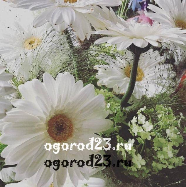 цветы похожие на ромашки 5