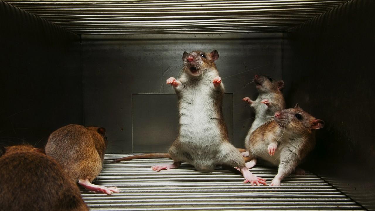 """Мы станем """"подопытными крысами"""""""