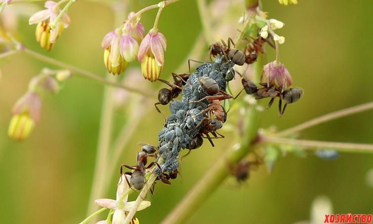 Растения, которые отпугнут тлю и муравьев из сада