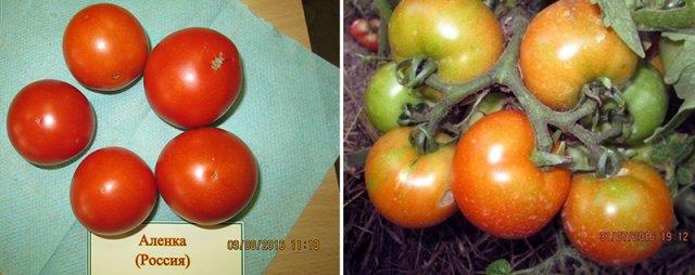 Томаты для открытого грунта – опытный томатовод рассказывает о своих любимых сортах огород