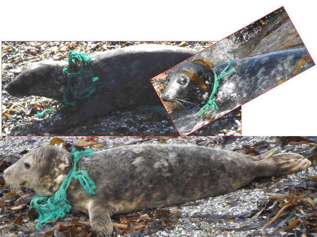 Рыболовная сеть впилась в шею тюленя… Чтобы помочь, люди искали его не один месяц