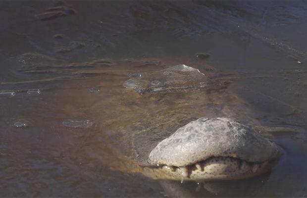 Аллигаторы в США вмерзли в лёд или ушли в зимнюю спячку?