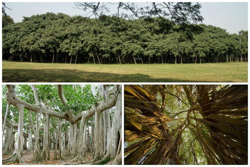 A Grande Árvore Banyan é a árvore com a maior área de copas do mundo.  A copa da árvore tem uma circunferência de cerca de 350 metros, a altura mais alta chega a 25 metros.  A área da árvore é de aproximadamente 1,5 ha.  árvores, incrível, natureza, incrível, flora