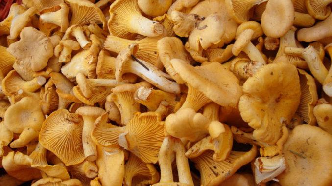 Полезны ли грибы лисички?