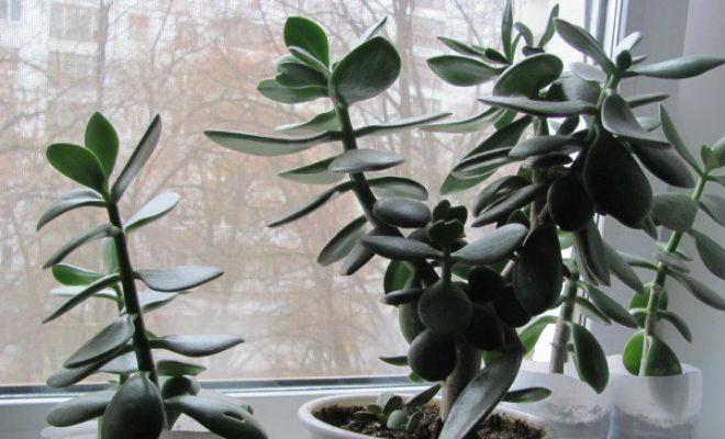 Денежное дерево: в чем польза для дома денежное дерево,польза растений,Природа,Пространство,растения