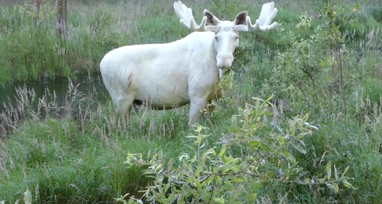 Исследователь из Швеции сумел заснять очень редкого зверя - белого лося