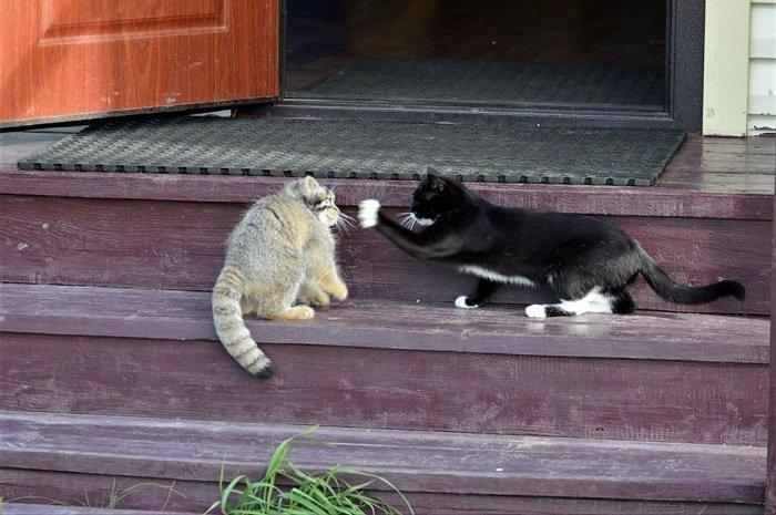 «Гадкий утёнок» заповедник, кошки, манул