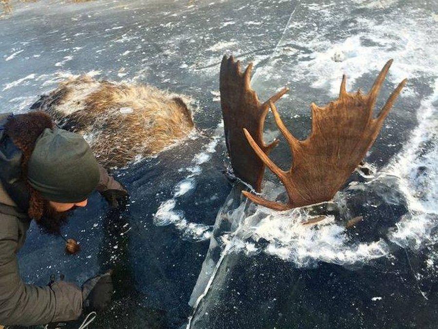 Сцепившиеся лоси вмёрзли в речной лёд