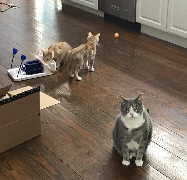 «Моя 12-летняя кошка спрашивает, обязательно ли нам держать у себя этих бестолковых котят» животные, коты, настроение
