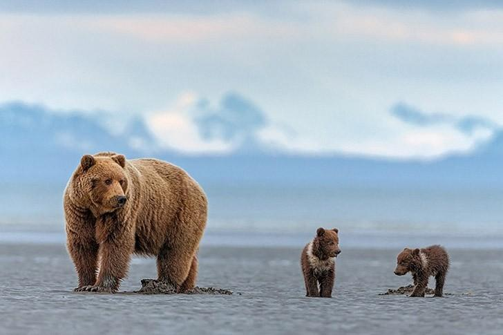 Мишки на севере Аляска,животные,медведи,север