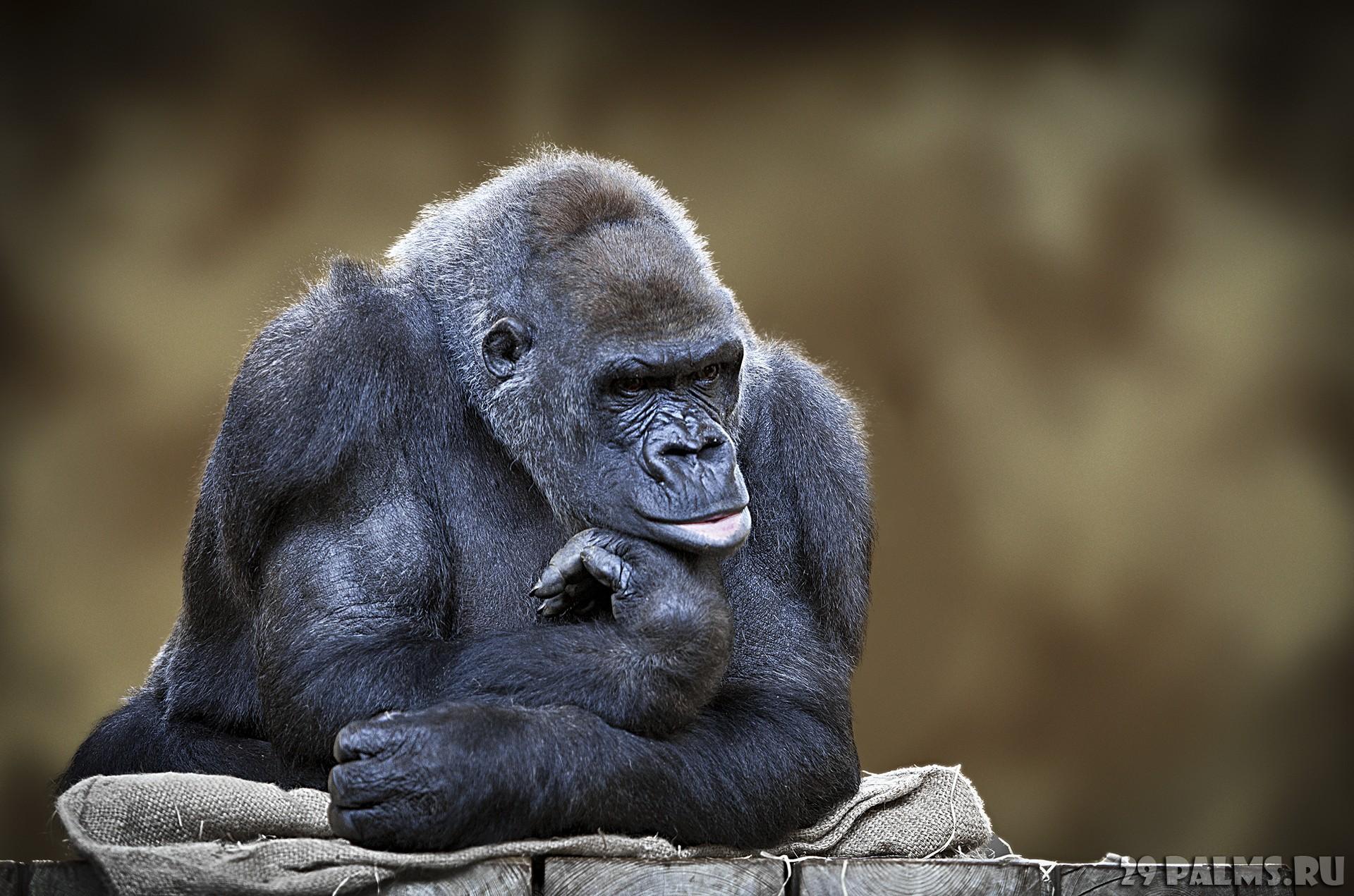 Картинки по запросу обезьяна хлопает
