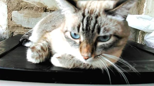 Два кошачьих резюме