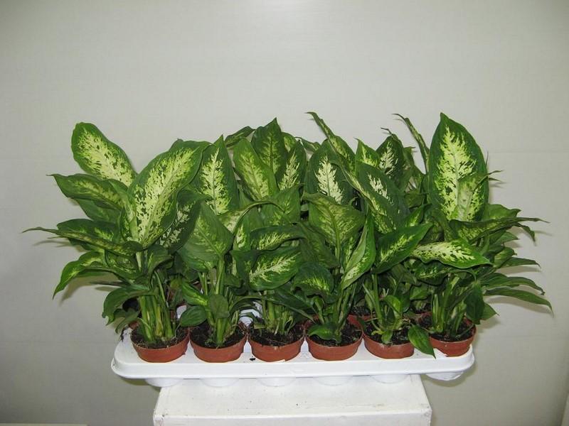 комнатные растения названия и фото