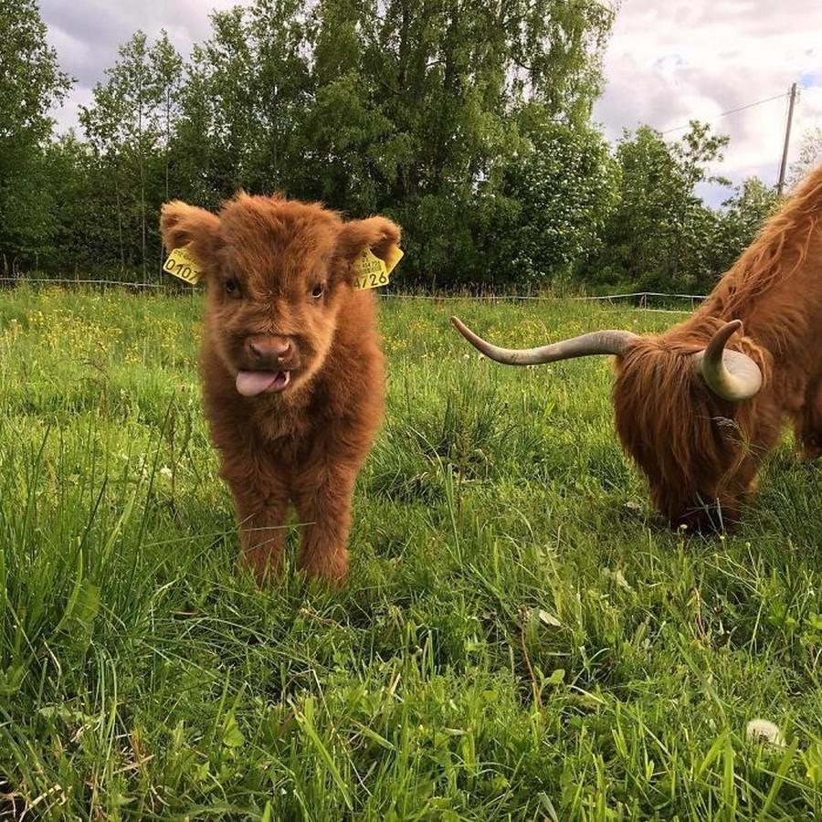 Шотландские коровы породы Ха…