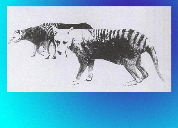 Сумчатые волки генетически «ослабли» еще до появления людей