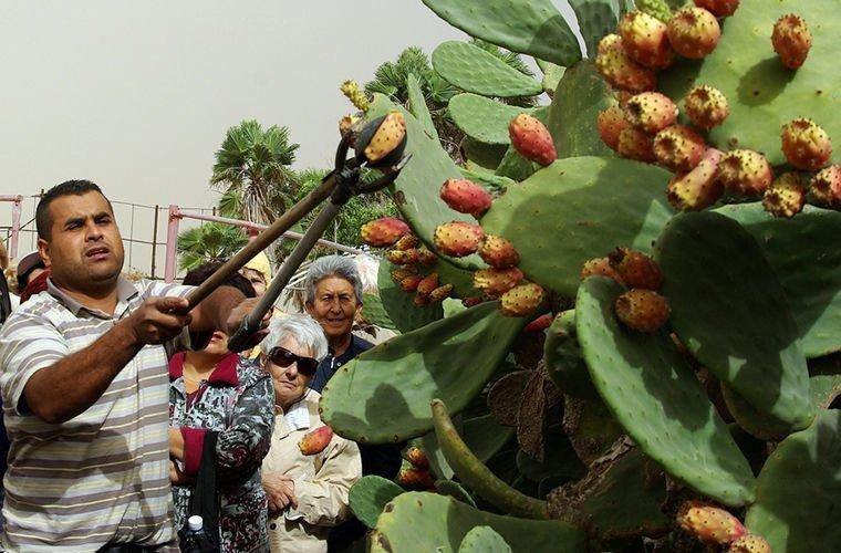 Они едят кактусы в мире, люди, обычай, правила, русские, традиции, тунис, факты