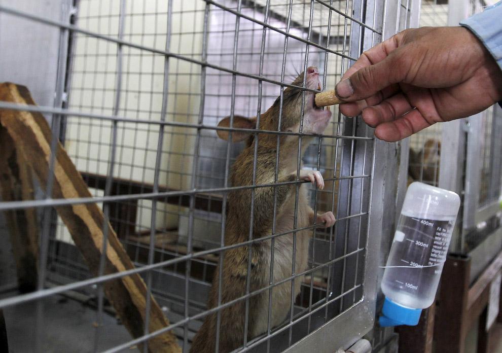 Гигантские крысы-саперы разминируют Камбоджу