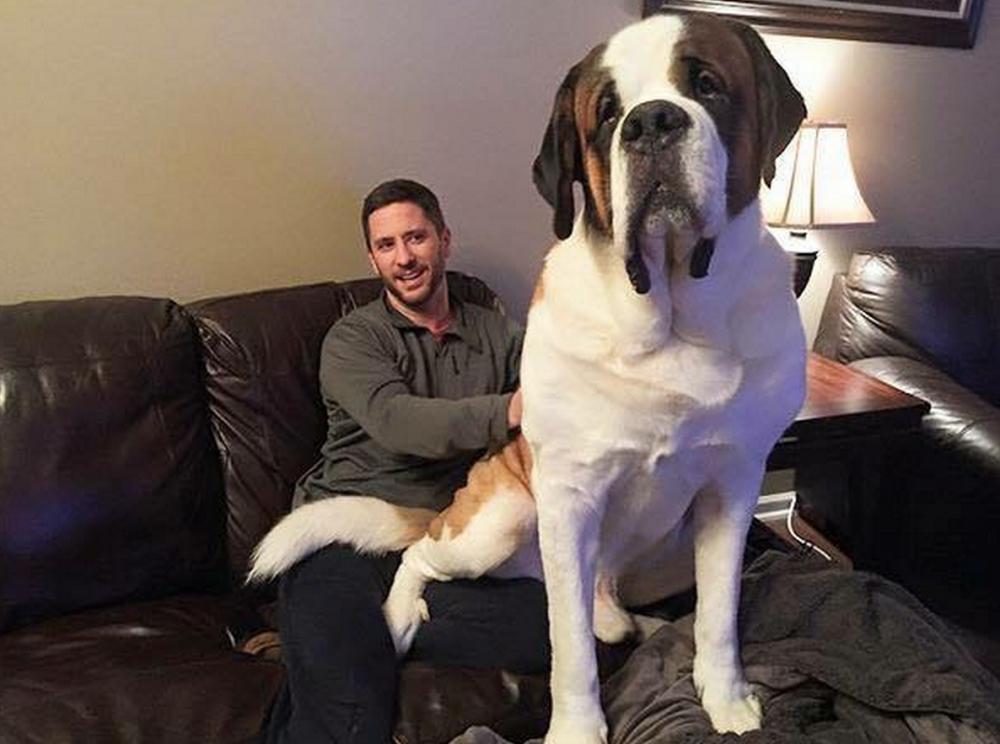 20 фото гигантских собак: чт…