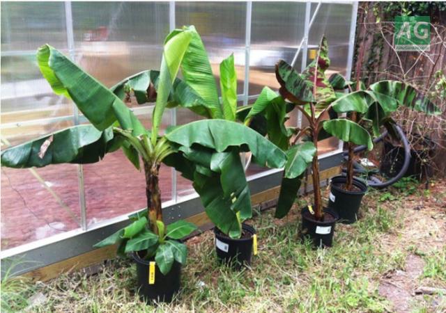 Можно ли вырастить банан в домашних условиях рекомендации
