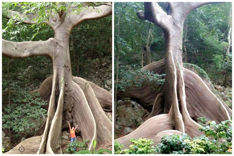 Ceiba (Cotton tree) - gênero de plantas lenhosas da subfamília Bombaks da família Malvaceae.  árvores, incrível, natureza, incrível, flora
