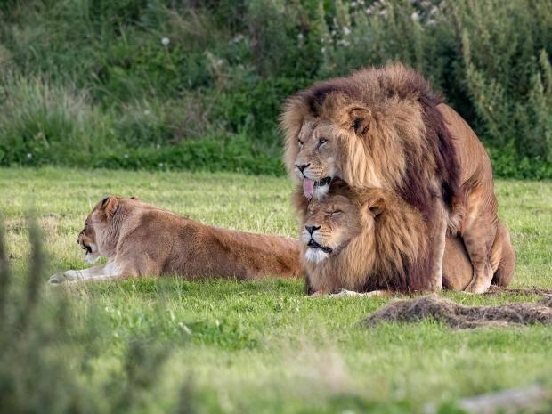В США у львицы выросла грива (ФОТО)