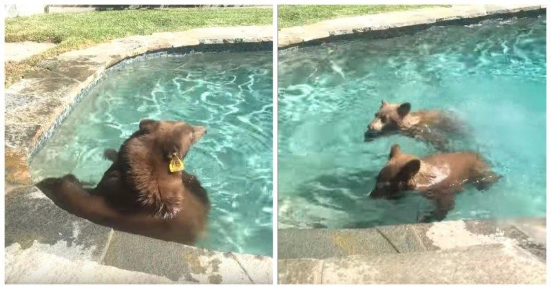 Семейство медведей искупалось в бассейне американцев