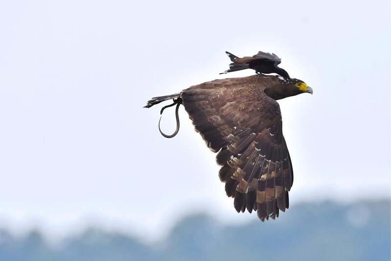 Маленькая, но очень гордая птичка, прокатилась верхом на могучем орле орел, природа, прокатилась, птицы, фото, фотомир