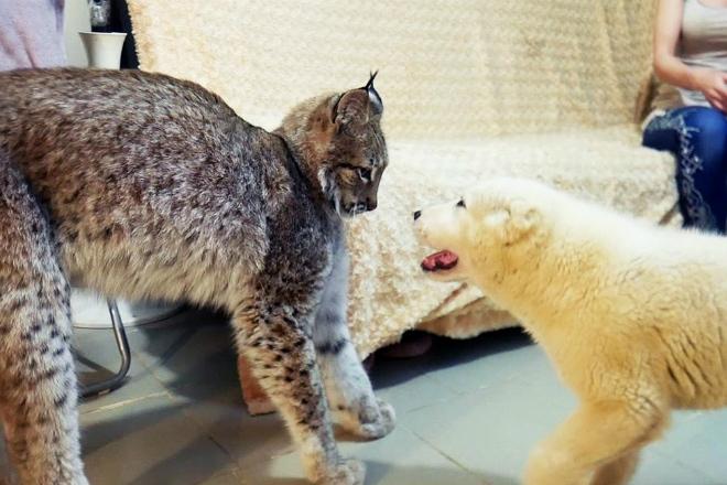 Реакция рыси на щенка овчарки: видео
