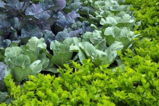 Уплотненные посадки в теплице: формируем удачное соседство овощей огород