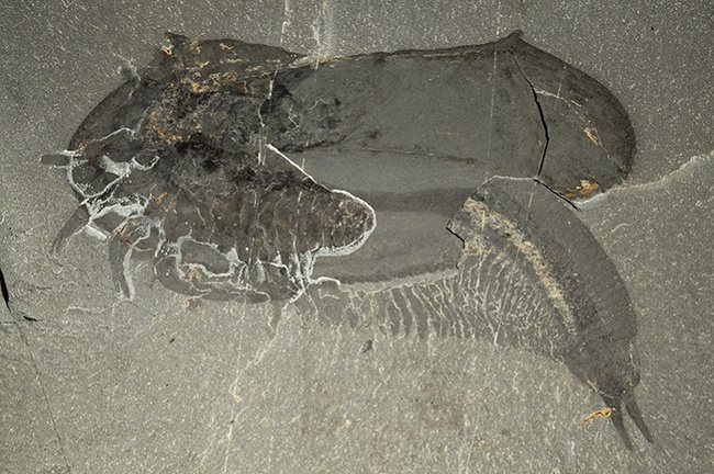 Найден новый вид ископаемых членистоногих