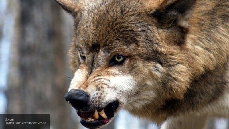 В Архангельске девочка спасла от волков свою собаку