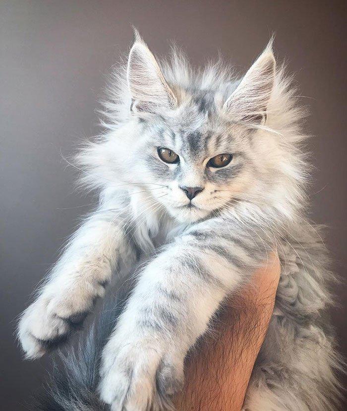 Очаровательные котята мейн-кун, которых вы просто должны увидеть