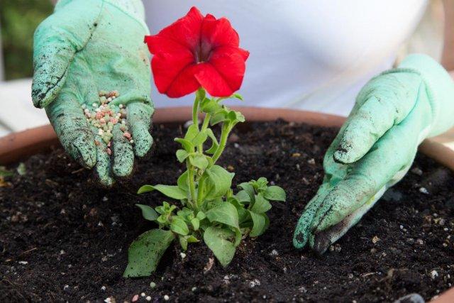 Правильный уход за петуниями в июле – приемы, улучшающие цветение