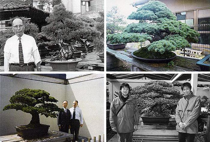 Сосна-бонсай, ставшая свидетелем взрыва в Хиросиме