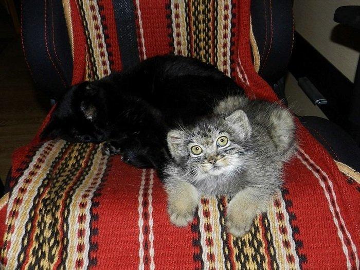 Усатая родня заповедник, кошки, манул